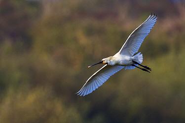 Eurasian Spoonbill (Platalea leucorodia) flying, Texel, Noord-Holland, Netherlands  -  Jasper Doest