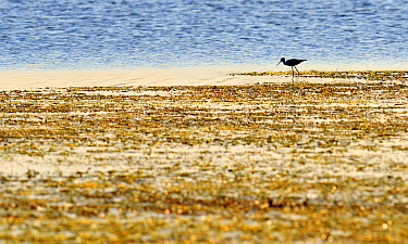 Black-necked Stilt (Himantopus mexicanus) wading, George West, Texas  -  Jasper Doest