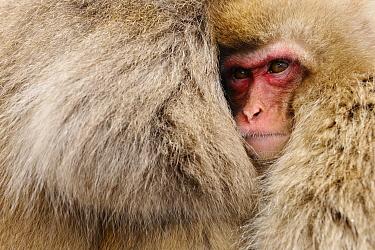 Japanese Macaque (Macaca fuscata) juvenile clinging to its mother, Jigokudani, Joshinetsu Kogen National Park, Japan  -  Jasper Doest