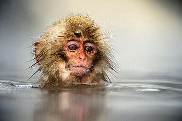 Japanese Macaque (Macaca fuscata) juvenile soaking in volcanic hot springs, Jigokudani, Joshinetsu Kogen National Park, Japan  -  Jasper Doest