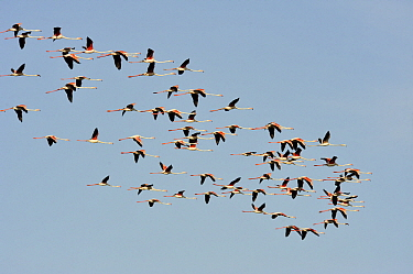 European Flamingo (Phoenicopterus roseus) flock flying, Andalucia, Spain  -  Jasper Doest