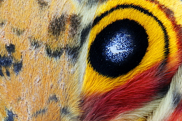 Io Moth (Automeris io) eyespot on wing, George West, Texas  -  Jasper Doest