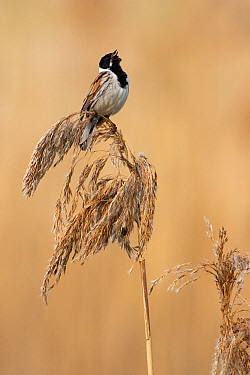 Reed Bunting (Emberiza schoeniclus) male singing on reed, Berlin, Germany  -  Jan Wegener/ BIA
