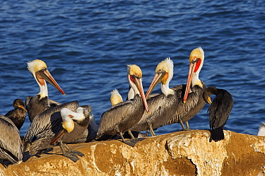 Brown Pelican (Pelecanus occidentalis) group perched on rock with Cormorants, San Diego, California  -  Winfried Wisniewski
