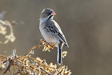 Scaly Weaver (Sporopipes squamifrons), Khutse Game Reserve, Botswana  -  Vincent Grafhorst