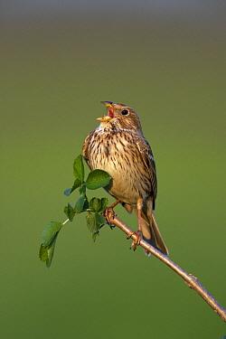 Corn Bunting (Emberiza calandra) singing, Lake Neusiedl, Austria  -  Jan Wegener/ BIA