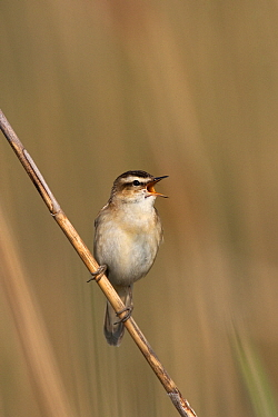 Sedge Warbler (Acrocephalus schoenobaenus) singing on reed stem, Lake Neusiedl, Austria  -  Jan Wegener/ BIA