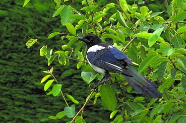 European Magpie (Pica pica) juvenile resting in tree, Oldemarkt, Overijssel, Netherlands  -  Philip Friskorn/ NiS