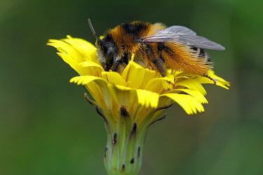Hairy-legged Mining Bee (Dasypoda hirtipes) feeding on nectar on Narrow-leaf Hawkweed (Hieracium umbellatum), Aekingerzand, Drents-Friese Wold National Park, Friesland, Netherlands  -  Philip Friskorn/ NiS