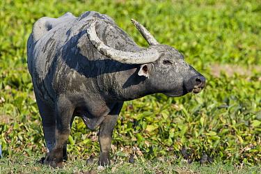 Asiatic Buffalo (Bubalus bubalis) male, Kaziranga National Park, India  -  Otto Plantema/ Buiten-beeld