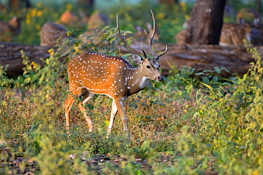 Chital (Axis axis) male, Kanha National Park, Madhya Pradesh, India  -  Otto Plantema/ Buiten-beeld