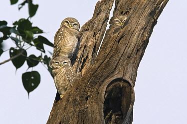 Spotted Owlet (Athene brama) family, India  -  Otto Plantema/ Buiten-beeld