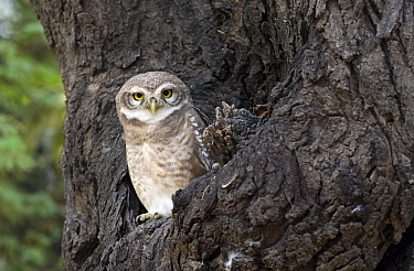 Spotted Owlet (Athene brama) on a tree trunk, India  -  Otto Plantema/ Buiten-beeld