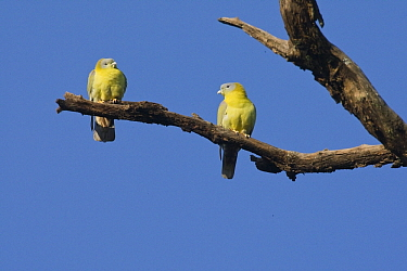 Yellow-footed Green-Pigeon (Treron phoenicoptera) pair, India  -  Otto Plantema/ Buiten-beeld