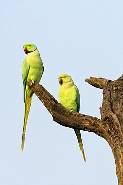 Rose-ringed Parakeet (Psittacula krameri) male and female on snag, India  -  Otto Plantema/ Buiten-beeld
