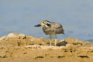 Great Thick-knee (Burhinus recurvirostris) on river bank, India  -  Otto Plantema/ Buiten-beeld