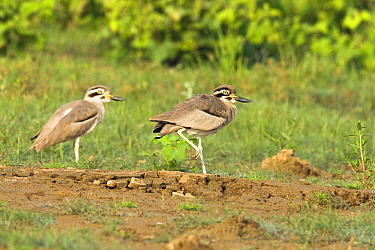 Great Thick-knee (Burhinus recurvirostris) on farmland, India  -  Otto Plantema/ Buiten-beeld