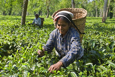 Black Tea (Camellia sinensis) being harvested, Assam, India  -  Otto Plantema/ Buiten-beeld