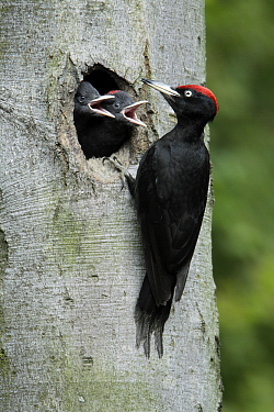 Black Woodpecker (Dryocopus martius) male feeding chicks at nest entrance, Lower Saxony, Germany  -  Duncan Usher