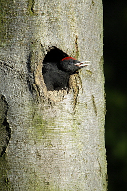 Black Woodpecker (Dryocopus martius) chick at nest entrance, Lower Saxony, Germany  -  Duncan Usher