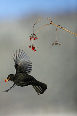 Eurasian Blackbird (Turdus merula) male flying with red berry, Lower Saxony, Germany  -  Duncan Usher