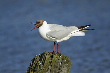 Black-headed Gull (Chroicocephalus ridibundus) calling, Texel, Noord-Holland, Netherlands  -  Duncan Usher