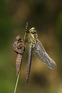 Hairy Dragonfly (Brachytron pratense) near its recently shed exoskeleton, Overijssel, Netherlands  -  Karin Rothman/ NiS