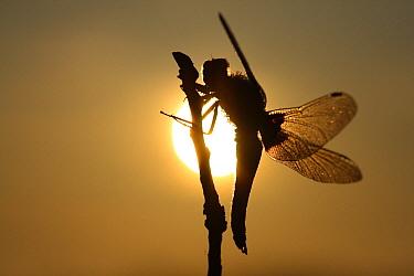 Broad-bodied Chaser (Libellula depressa) dragonfly at sunrise, Engbertsdijksvenen, Overijssel, Netherlands  -  Karin Rothman/ NiS