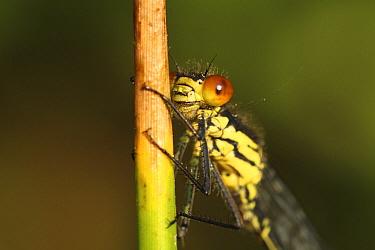 Red-eyed Damselfly (Erythromma najas) male, Overijssel, Netherlands  -  Karin Rothman/ NiS