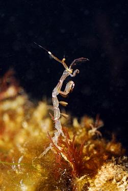 Amphipod (Caprella linearis) member of the skeleton shrimp family, North Sea  -  Hans Leijnse/ NiS