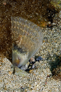 Pen Shell (Pinna nobilis) on seafloor, Mediterranean Sea  -  Hans Leijnse/ NiS