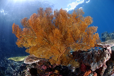 Common Sea Fan (Gorgonia ventalina) on reef, Indonesia  -  Hans Leijnse/ NiS