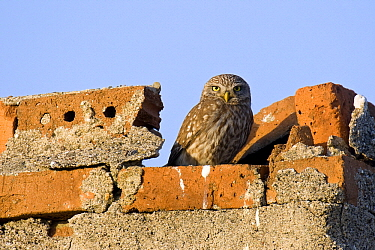 Little Owl (Athene noctua) perched on old farmhouse, Bulgaria  -  Marijn Heuts/ NiS