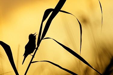 Great Reed-Warbler (Acrocephalus arundinaceus) singing, Bulgaria  -  Marijn Heuts/ NiS