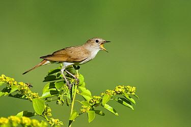 Nightingale (Luscinia megarhynchos) singing, Bulgaria  -  Marijn Heuts/ NiS