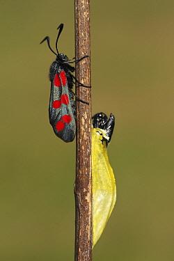 Six-spot Burnet (Zygaena filipendulae) adult and moth emerging from cocoon, Overijssel, Netherlands  -  Karin Rothman/ NiS