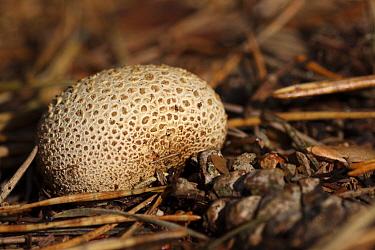 Common Earthball (Scleroderma citrinum) in forest, Ommen, Overijssel, Netherlands  -  Karin Rothman/ NiS