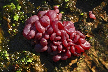 Purple Jellydisc (Ascocoryne sarcoides) fungus fruiting body, Vriezenveen, Overijssel, Netherlands  -  Karin Rothman/ NiS