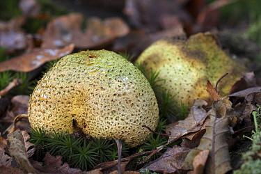 Common Earthball (Scleroderma citrinum) in forest, Vriezenveen, Overijssel, Netherlands  -  Karin Rothman/ NiS