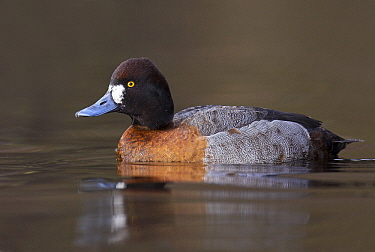 Lesser Scaup (Aythya affinis) showing strange plumage variation possibly due to hybridization, Vancouver, British Columbia, Canada  -  Jan Wegener/ BIA