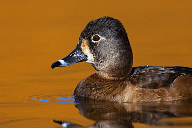 Ring-necked Duck (Aythya collaris) female, Vancouver, British Columbia, Canada  -  Jan Wegener/ BIA