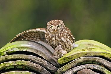 Little Owl (Athene noctua) with caught mouse on old roof tiles, Veluwe, Barneveld, Gelderland, Netherlands  -  Ernst Dirksen/ Buiten-beeld