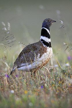 Little Bustard (Tetrax tetrax) male in meadow, Alentejo, Portugal  -  Duncan Usher