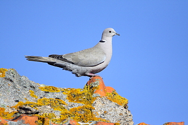 Eurasian Collared-Dove (Streptopelia decaocto) perched on roof covered with lichens, Alentejo, Portugal  -  Duncan Usher