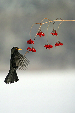 Eurasian Blackbird (Turdus merula) male flying feeding on berries, Lower Saxony, Germany  -  Duncan Usher