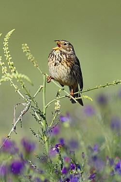 Corn Bunting (Emberiza calandra) singing, Alentejo, Portugal  -  Duncan Usher