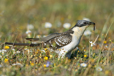 Great Spotted Cuckoo (Clamator glandarius) with caterpillar prey, Alentejo, Portugal  -  Duncan Usher
