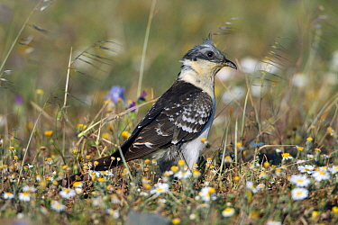 Great Spotted Cuckoo (Clamator glandarius), Alentejo, Portugal  -  Duncan Usher