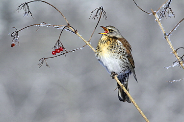Fieldfare (Turdus pilaris) singing near food berries, Lower Saxony, Germany  -  Duncan Usher