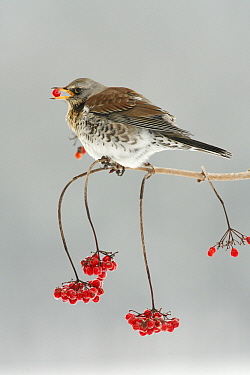 Fieldfare (Turdus pilaris) feeding on berries in winter, Lower Saxony, Germany  -  Duncan Usher